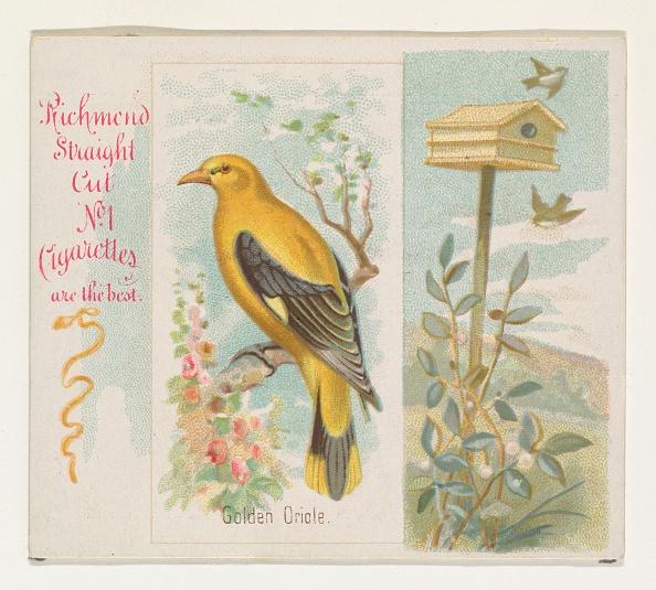 Songbird「Golden Oriole」:写真・画像(7)[壁紙.com]