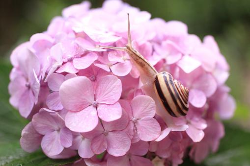 カタツムリ「Snail on Hydrangea Flowers」:スマホ壁紙(19)