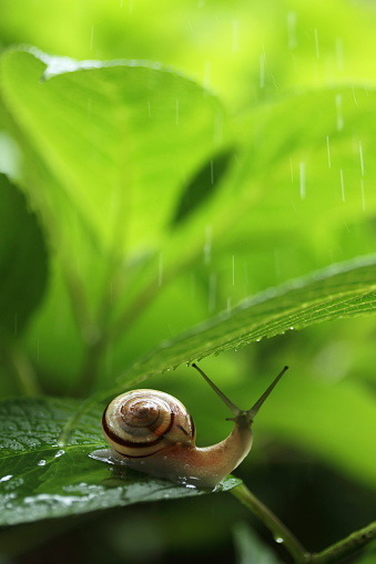 snails「Snail on hydrangea leaf」:スマホ壁紙(11)
