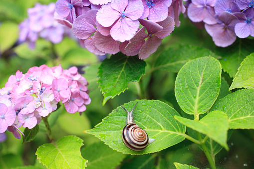snails「Snail on Hydrangea Leaf」:スマホ壁紙(0)