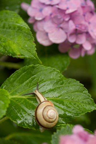 snails「Snail on hydrangea leaf」:スマホ壁紙(4)