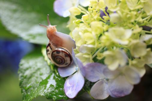 カタツムリ「Snail on hydrangea, close-up」:スマホ壁紙(19)