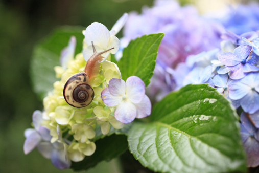 カタツムリ「Snail on hydrangea, close-up」:スマホ壁紙(18)