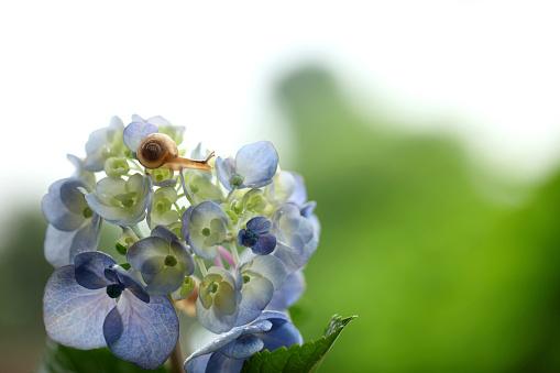 カタツムリ「Snail on Hydrangea Flower」:スマホ壁紙(16)