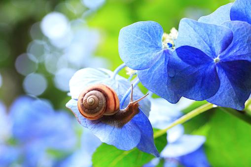 カタツムリ「Snail on Hydrangea」:スマホ壁紙(18)