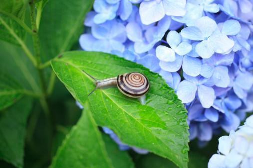 カタツムリ「Snail on Hydrangea」:スマホ壁紙(11)