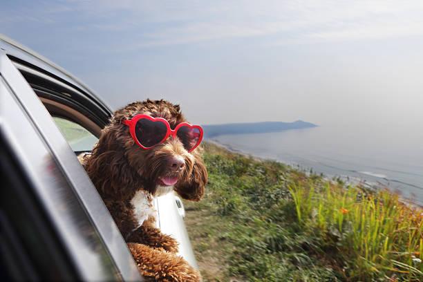 Dog leaning out of car window on coast road:スマホ壁紙(壁紙.com)