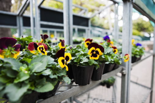 Plant Nursery「Pansy seedlings at garden center」:スマホ壁紙(18)