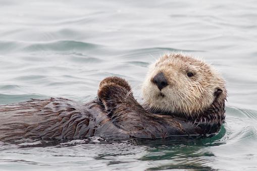 Monterey Bay「Southern Sea Otter」:スマホ壁紙(4)