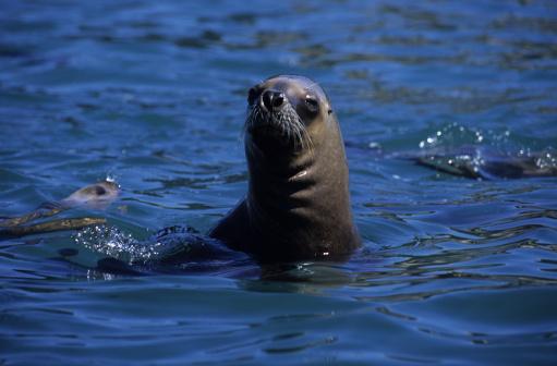 Sea Lion「southern sea lion,otaria flavescens, female, peninsula valdes, patagonia」:スマホ壁紙(8)