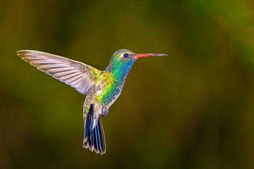 Animal Wildlife「Broadbilled Hummingbird, Arizona, America, USA」:スマホ壁紙(14)