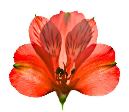 Alstroemeria「Red flower」:スマホ壁紙(12)
