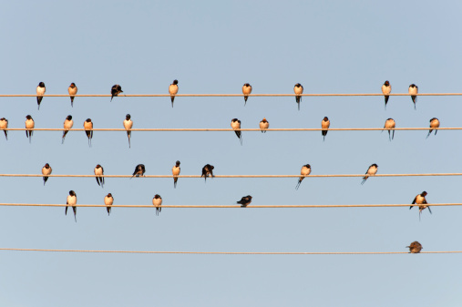 Cable「Germany, Unteruhldingen, Flock of barn swallows on power lines」:スマホ壁紙(17)