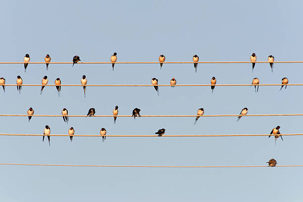 Germany, Unteruhldingen, Flock of barn swallows on power lines:スマホ壁紙(壁紙.com)