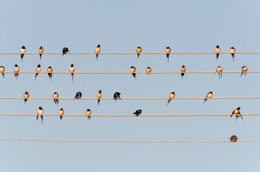 Barn Swallow「Germany, Unteruhldingen, Flock of barn swallows on power lines」:スマホ壁紙(2)