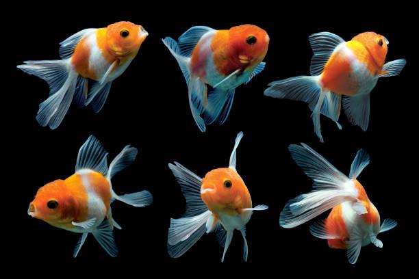 Six goldfish:スマホ壁紙(壁紙.com)