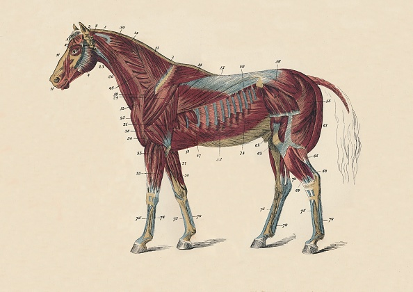 Horse「External Muscles And Tendons Of The Horses Body C」:写真・画像(12)[壁紙.com]