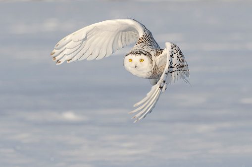 Endangered Species「Snowy owl, bubo scandiacus, bird in flight」:スマホ壁紙(8)