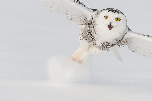Animals Hunting「Snowy owl, bubo scandiacus, bird in flight」:スマホ壁紙(1)