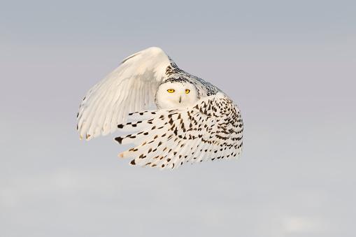 Animals Hunting「Snowy owl, bubo scandiacus, bird in flight」:スマホ壁紙(6)