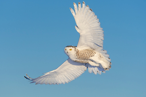 Bird「Snowy owl, bubo scandiacus, bird in flight」:スマホ壁紙(19)