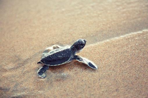 Hikkaduwa「New born sea turtle」:スマホ壁紙(18)
