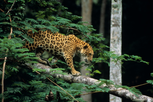 Walking「Jaguar (Panthera onca) in tree」:スマホ壁紙(12)