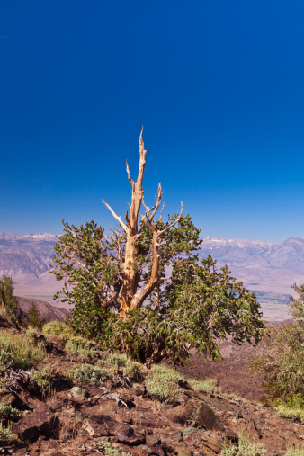 インヨー国有林「Ancient Bristlecone Pine Tree on mountain top」:スマホ壁紙(13)