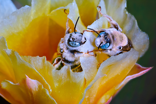 flower「Two Cactus Bees Facing Off on a cactus flower, Arizona, America, USA」:スマホ壁紙(14)