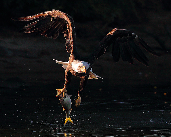 Endangered Species「Eagles on Long Island」:写真・画像(17)[壁紙.com]