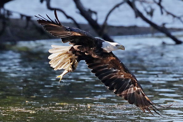 Endangered Species「Eagles on Long Island」:写真・画像(11)[壁紙.com]