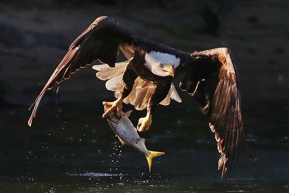 Endangered Species「Eagles on Long Island」:写真・画像(8)[壁紙.com]