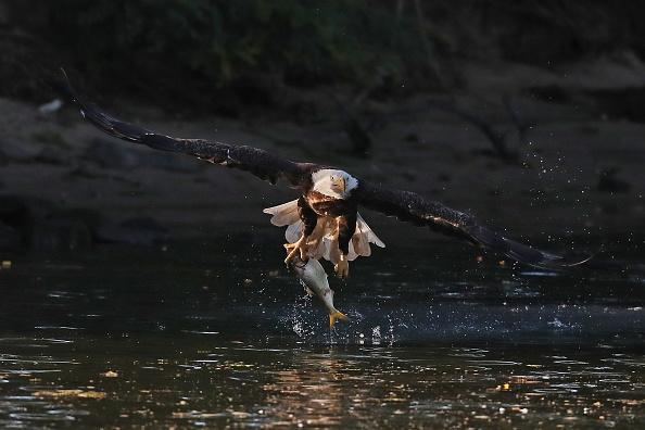 Animal Wildlife「Eagles on Long Island」:写真・画像(12)[壁紙.com]