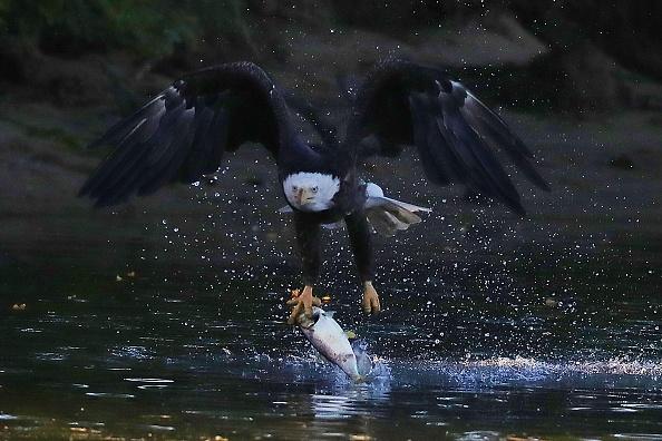 Endangered Species「Eagles on Long Island」:写真・画像(7)[壁紙.com]