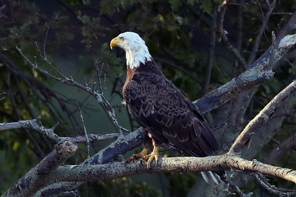 Endangered Species「Eagles on Long Island」:写真・画像(5)[壁紙.com]