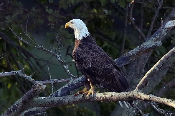 Endangered Species「Eagles on Long Island」:写真・画像(4)[壁紙.com]