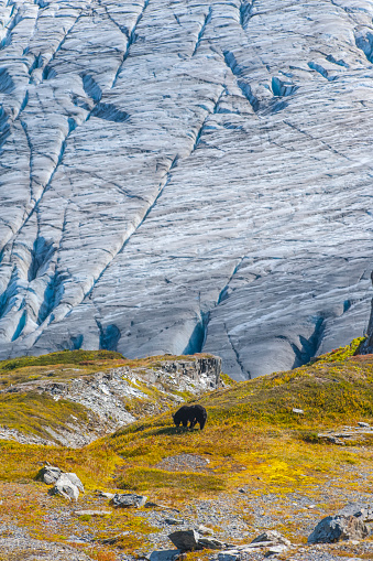 Exit Glacier「An American black bear (Ursus americanus) on a hillside with Exit Glacier in the background on a sunny fall day in Kenai Fjords National Park, South-central Alaska」:スマホ壁紙(13)