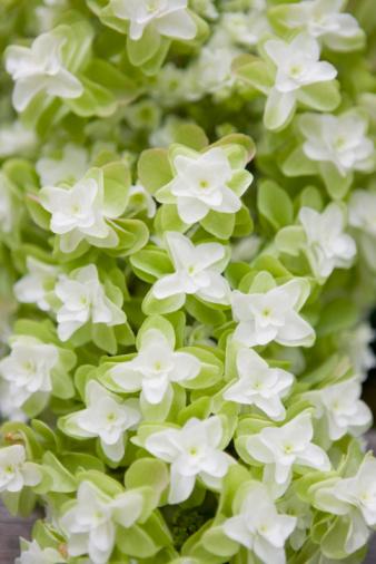 あじさい「Oak leaf hydrangea flowers」:スマホ壁紙(2)