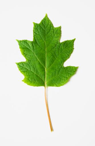 あじさい「Oak leaf hydrangea」:スマホ壁紙(5)