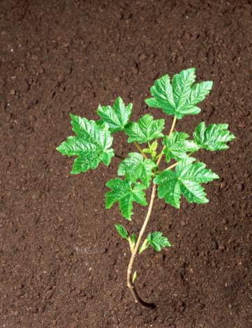 セイヨウカジカエデ「Sycamore (Acer pseudoplatanus) sapling in soil, elevated view」:スマホ壁紙(10)