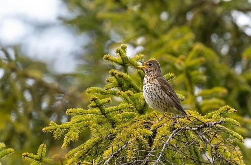 Songbird「Singing song thrush」:スマホ壁紙(11)