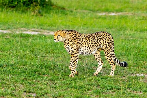 African Cheetah「Cheetah Hunting / preying」:スマホ壁紙(8)
