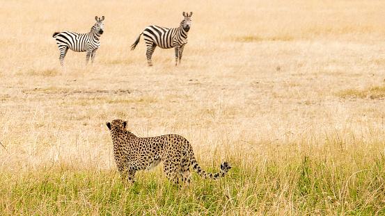African Cheetah「Cheetah - hunting」:スマホ壁紙(19)