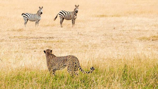 Cheetah - hunting:スマホ壁紙(壁紙.com)