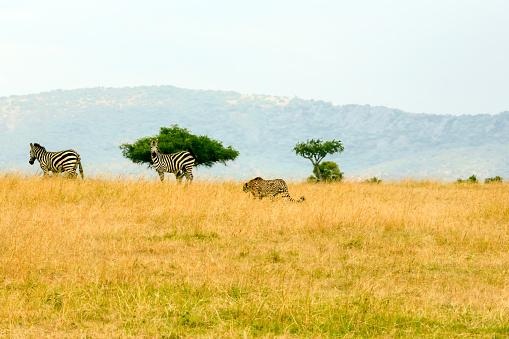 Animals Hunting「Cheetah - hunting」:スマホ壁紙(13)