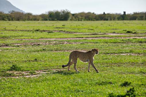 African Cheetah「Cheetah Hunting」:スマホ壁紙(17)