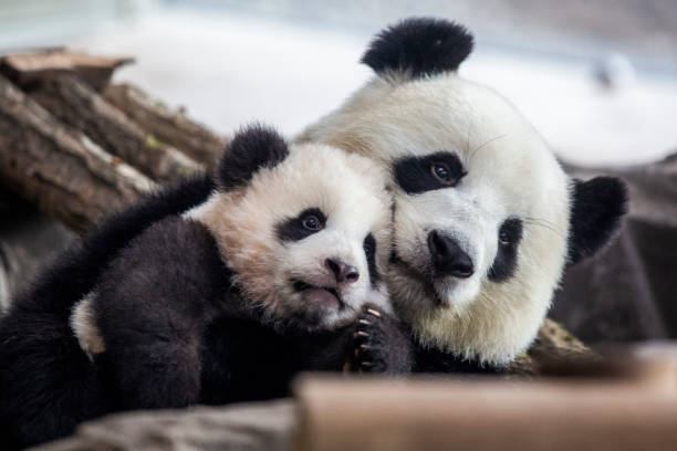 Berlin Zoo To Present Panda Babies To The Public:ニュース(壁紙.com)