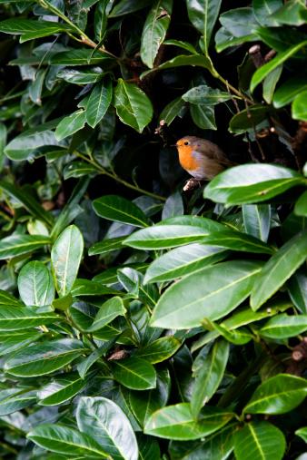 Sheltering「Robin in laurel」:スマホ壁紙(16)