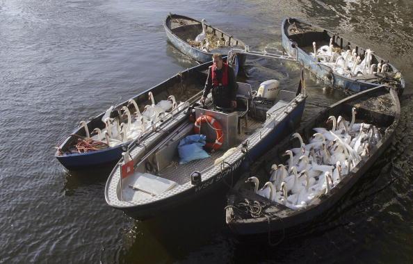 動物「Swans Moved to Winter Habitat」:写真・画像(12)[壁紙.com]