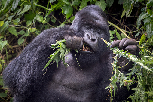 コンゴ民主共和国「Mountain Gorilla Eating, Volcanoes National Park, Rwanda」:スマホ壁紙(4)